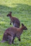 Dois cangurus Fotografia de Stock Royalty Free