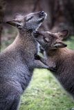 Dois cangurus australianos que preparam-se imagem de stock