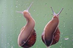 Dois caracóis Imagem de Stock