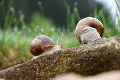 Dois caracóis em uma pedra no jardim Foto de Stock