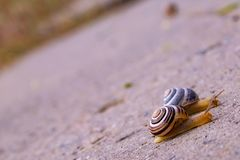 Dois caracóis pequenos que rastejam em uma estrada após a chuva fotografia de stock royalty free