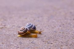 Dois caracóis que rastejam em uma estrada após a chuva imagem de stock