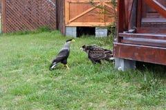 Dois Caracaras que lutam no parque de Torres del Dor imagem de stock royalty free