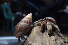2 dois caranguejos de eremita encontraram sua maneira home no shell japonês preto do caracol Imagem de Stock