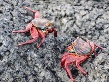Dois caranguejos do lightfoot do sally em Ilhas Galápagos Equador fotografia de stock royalty free