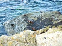 Dois caranguejos na rocha perto do mar Fotos de Stock Royalty Free