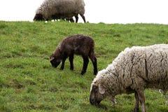 Dois carneiros brancos e do cordeiro de alimentação marrom e mover-se uma grama para a frente na pastagem fotos de stock royalty free