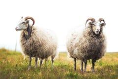 Dois carneiros brancos que estão na grama Fotografia de Stock