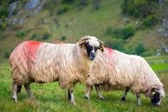 Dois carneiros em um pasto Fotografia de Stock Royalty Free