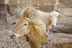 Dois carneiros espanhóis fotografia de stock