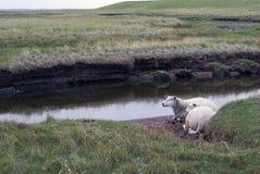 Dois carneiros na água Imagens de Stock Royalty Free