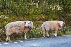 Dois carneiros na estrada nas montanhas de Escandinávia Fotografia de Stock Royalty Free