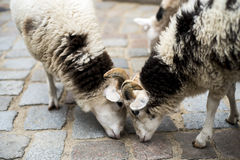 Dois carneiros no jardim zoológico de trocas de carícias Imagens de Stock