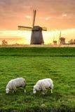 Dois carneiros pastam em um campo com três moinhos de vento em um dia nebuloso Fotografia de Stock Royalty Free