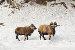 Dois carneiros pretos da barriga na neve imagem de stock royalty free