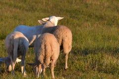 Dois carneiros que mostram a interação Fotos de Stock