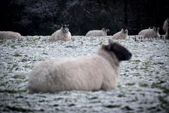 Dois carneiros que olham a câmera Fotos de Stock Royalty Free