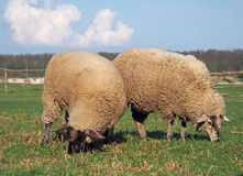Dois carneiros que pastam em um pasto Imagens de Stock
