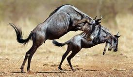 Dois carrinhos dos wildebeests no reare Fotos de Stock Royalty Free