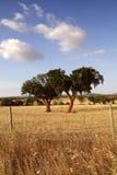 Dois carvalhos de cortiça Imagem de Stock Royalty Free
