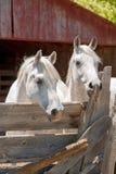 Dois cavalos árabes brancos em uma pena fotos de stock