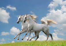 Dois cavalos árabes brancos no campo Fotografia de Stock
