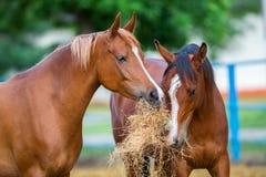 Dois cavalos árabes que comem o feno Fotografia de Stock