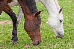 Dois cavalos Fotografia de Stock