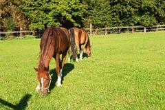 dois cavalos Imagens de Stock Royalty Free