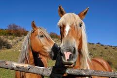 dois cavalos Foto de Stock