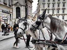 Dois cavalos agradáveis de um transporte que joga junto em Stephansplatz foto de stock