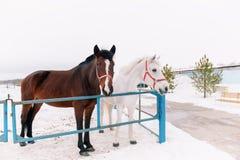 Dois cavalos amigáveis curiosos no prado, estando em uma cerca rústica do metal, espreitando na câmera no inverno nevado Foto de Stock