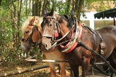 Dois cavalos aproveitados na mesma equipe imagens de stock