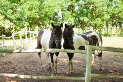 Dois cavalos brancos de Brown Fotografia de Stock Royalty Free