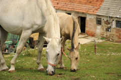 Dois cavalos brancos que alimentam na grama Imagens de Stock