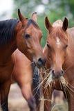 Dois cavalos comem o feno fora. imagem de stock