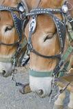 Dois cavalos da mula Imagens de Stock