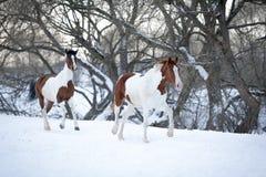 Dois cavalos da pintura que jogam na neve no inverno frio Imagens de Stock Royalty Free