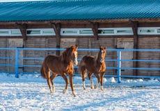 Dois cavalos de baía fazem correria em uma pena, Altai, Rússia foto de stock