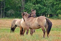 Dois cavalos de beijo Imagem de Stock