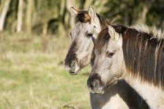 Dois cavalos de Konik Fotos de Stock Royalty Free