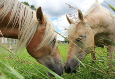 Dois cavalos de pastagem que comem a grama e os narizes tocantes Fotografia de Stock