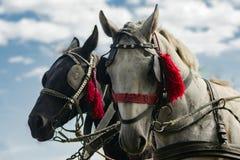Dois cavalos de transporte Fotografia de Stock