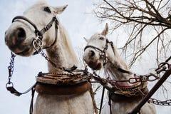 Dois cavalos de transporte brancos fotografia de stock