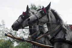 Dois cavalos de transporte cinzentos Foto de Stock Royalty Free