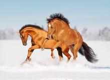 Dois cavalos dourados na neve Fotos de Stock