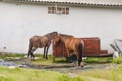Dois cavalos e um transporte pequeno na parte traseira de uma casa Foto de Stock Royalty Free