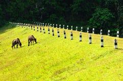 Dois cavalos em Pang Ung Forestry Plantations fotografia de stock royalty free