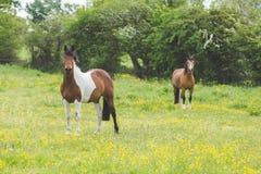 Dois cavalos em um campo Foto de Stock