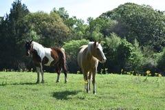 Dois cavalos em um campo aberto Imagens de Stock Royalty Free